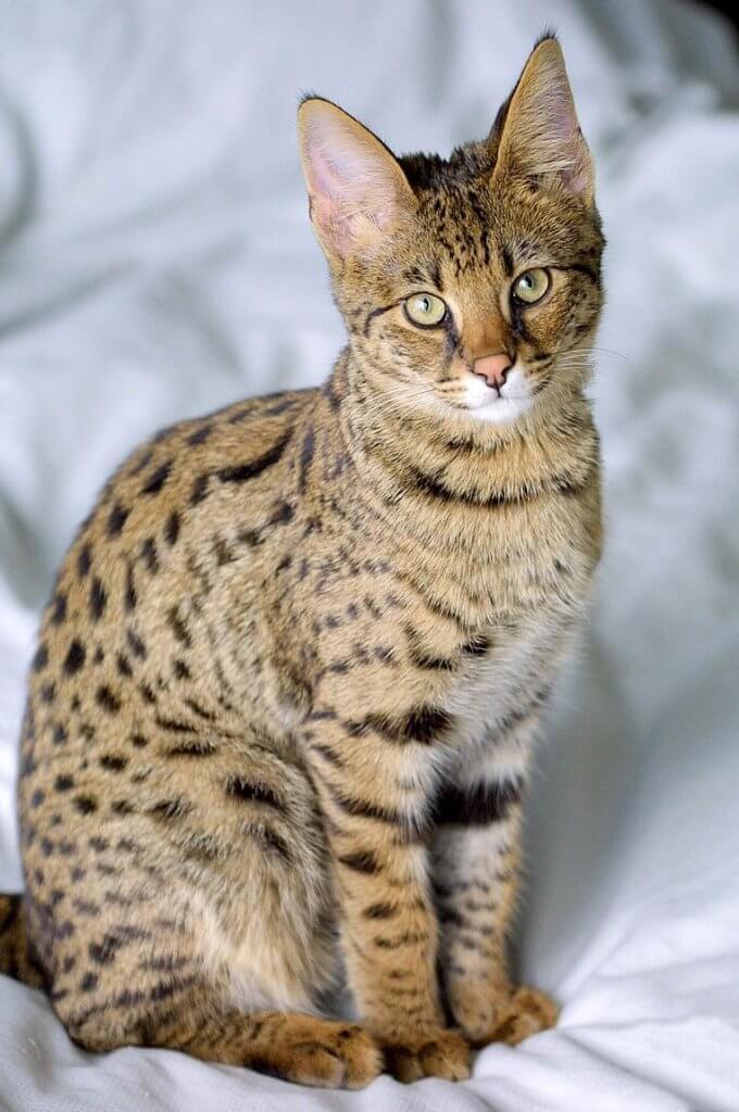 Die Savannah-Katze
